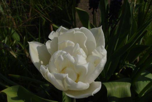 Tulip Mania18