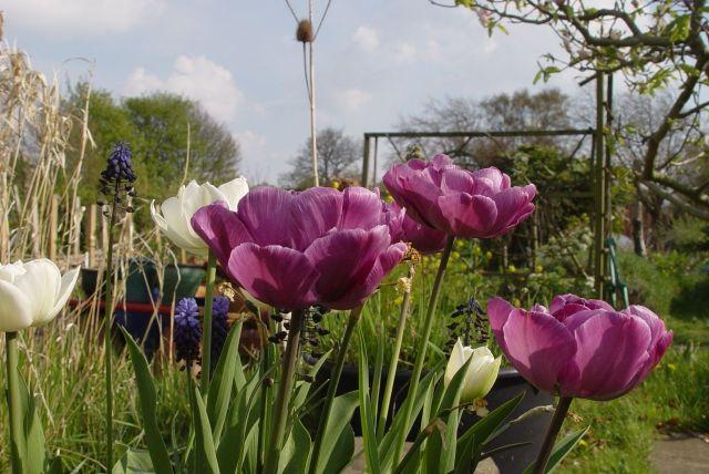 Tulip Mania20