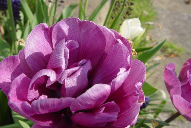 Tulip Mania21