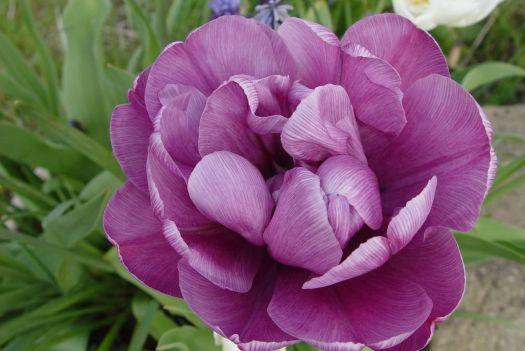 Tulip Mania22