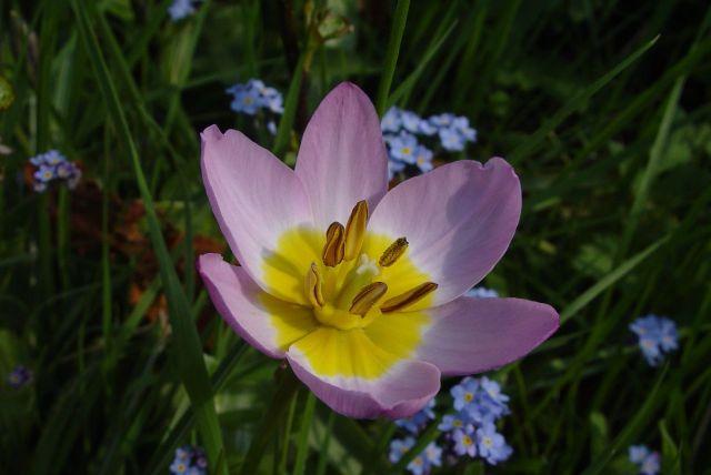 Tulip Mania29