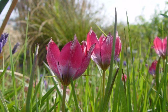 Tulip Mania33