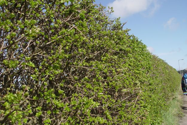 Only a month or so since we last came, but now the bare hedge is full of spring green growth.