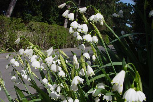 Leucojeum or Spring Snowflake.