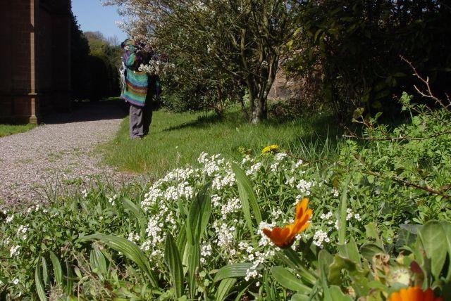 In the churchyard: Alyssum or 'Garden escape' as Sarah calls it.