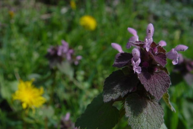 Red dead nettle.