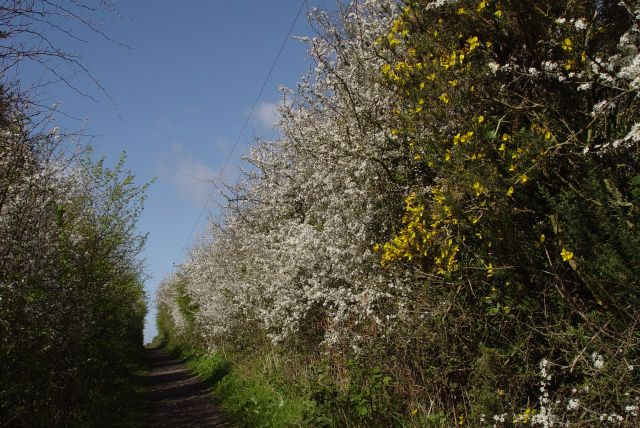 Higher still, the Blackthorn are in glorious white flower.