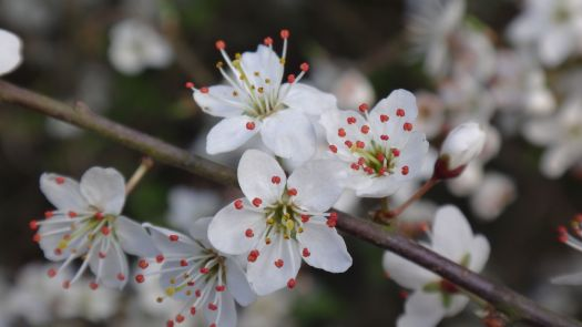 Close up of the Blackthorn.