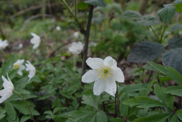 Wood anemone.