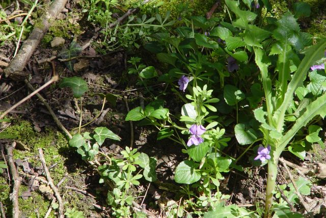 Up off the beach, more violets.