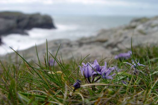And in its wildflowers. Sea squill here. 'Only grows within sight of the sea' Sarah tells me.
