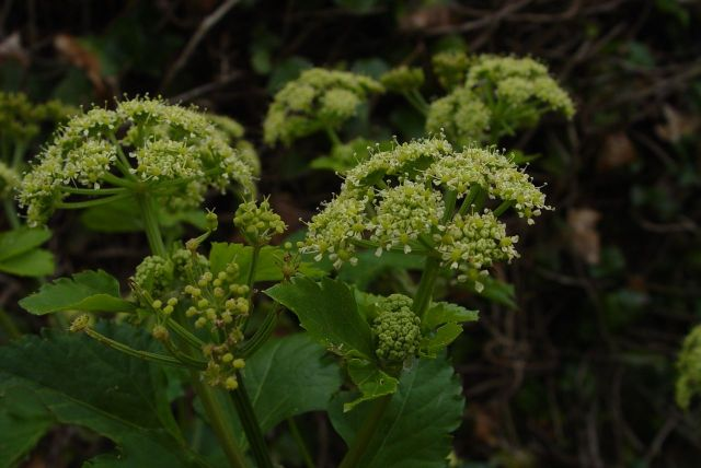 Alexanders, similar to the white flowered cow parsley.