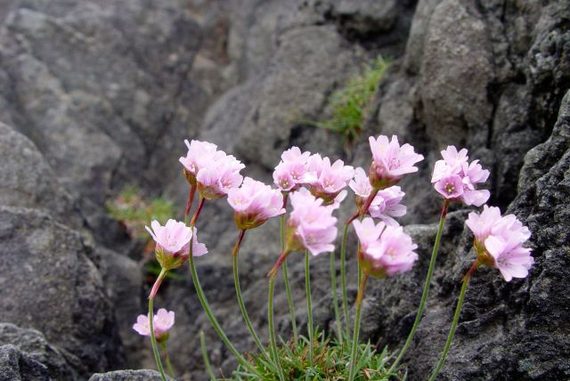 Sea Thrift, Armeria. 'Defines British coasts and cliffs' says Sarah.