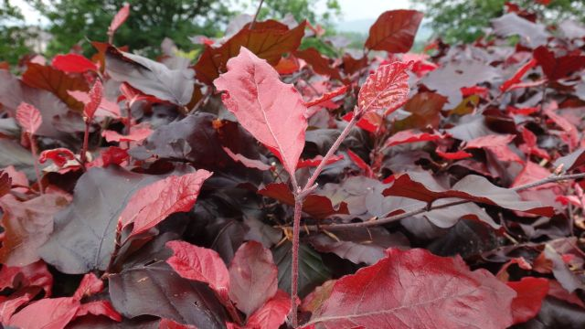 Though the still cool nights are resulting in the autumn like reddening of these beech leaves.