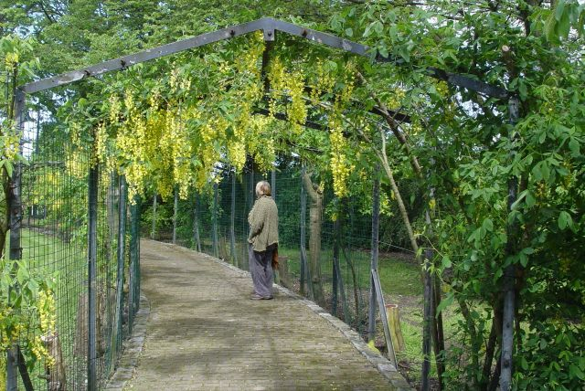 A laburnum arch, growing again.