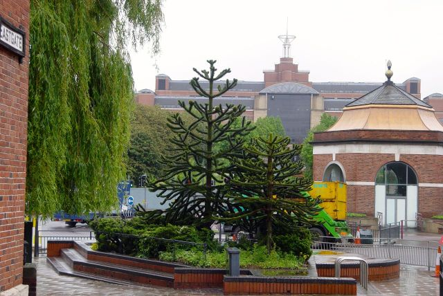 I photograph these monkey puzzle trees at the end of Eastgate.