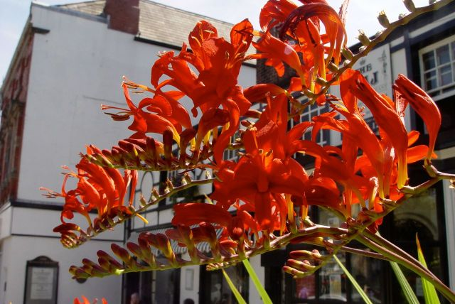Crocosmia in Woolton Village.
