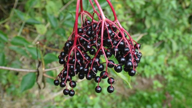 Elderberries.