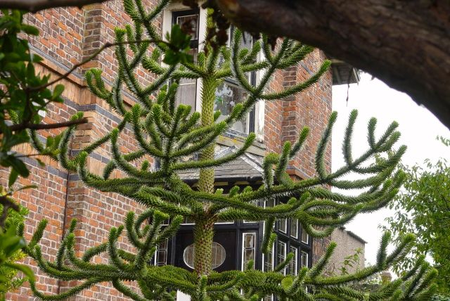 Finding this Monkey Puzzle Tree for Sarah's blog.