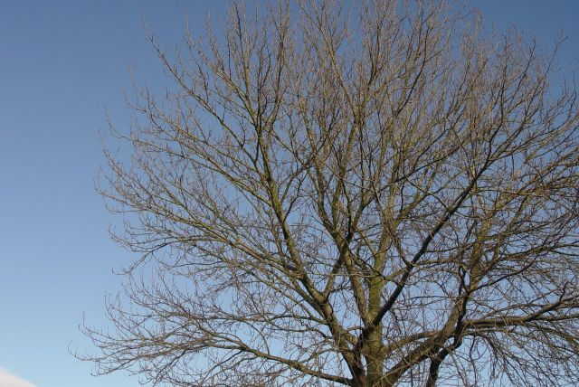 Winter tree against a clear blue sky.
