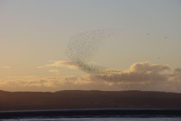 A murmuration of starlings at Thurstaston.