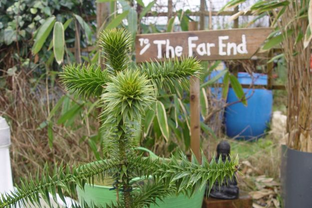 And her very own Monkey Puzzle Tree.