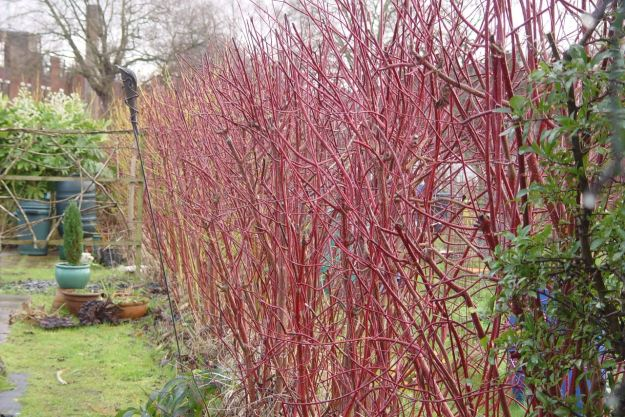 The red winter Dogwood.
