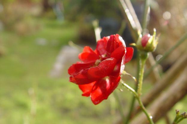 A rose in winter.