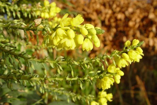 Yellow mahonia for any not yet sleeping bees.