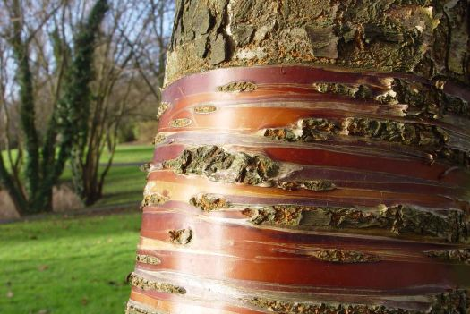 The lovely bark of the cherry tree in the sunshine.