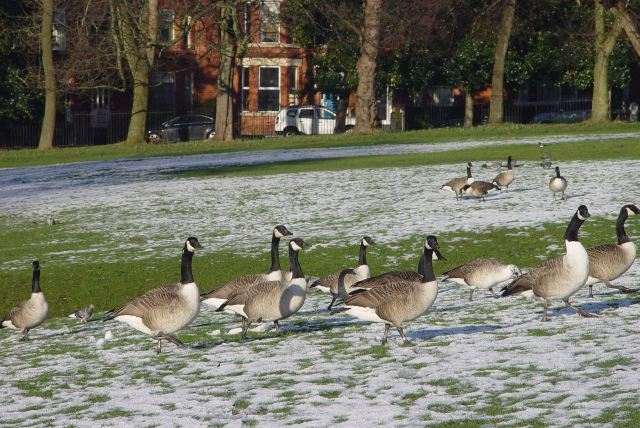 Pet dogs scattering the park geese.