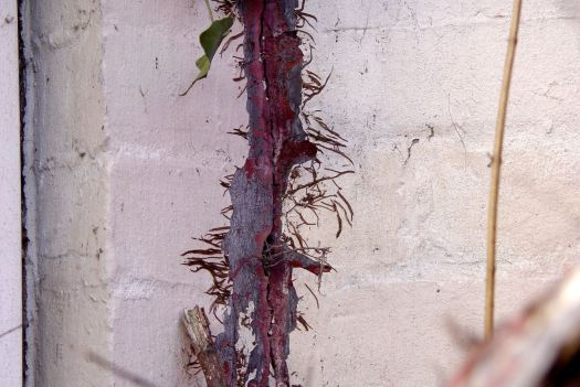 Some of the ivy, of course, having entered the wall1
