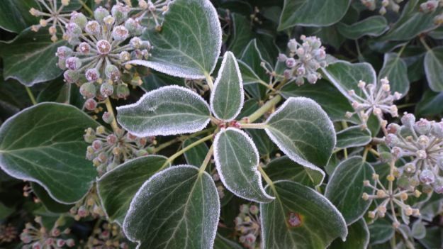 Frost still on the ivy.