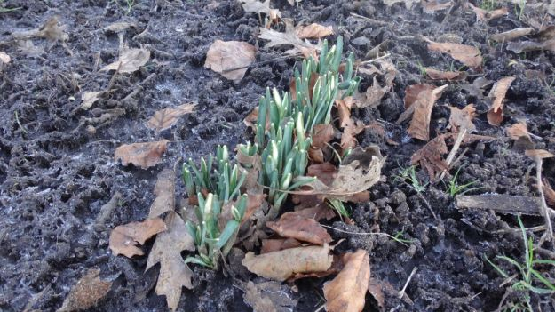 The snowdrops, nearly out.