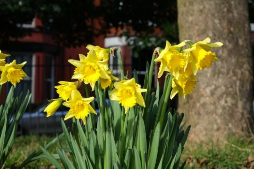 In Greenbank Park, as the light grows longer, the daffodils are fully out now.