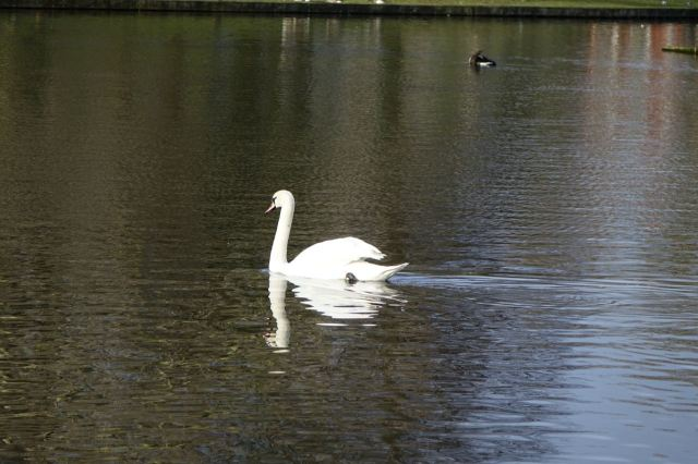 The swan gliding over the lake.