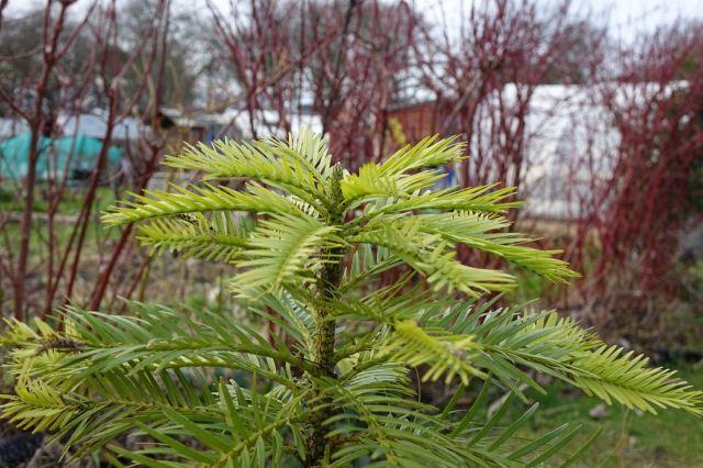 Thew Wollemi Pine.