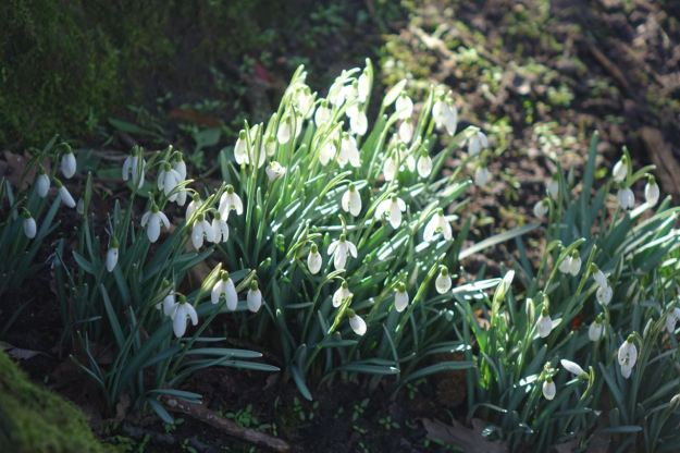 And around the base of some trees are gallants, the snowdrops are here.