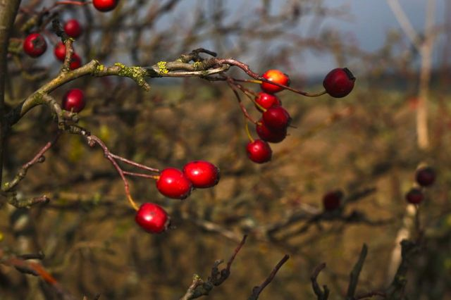 But for a few left over berries too bitter even for the winter birds.