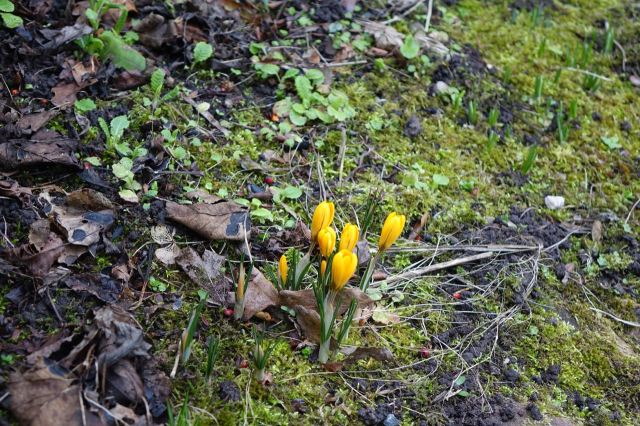 But in the Old School House garden the first sign of spring, a crocus.