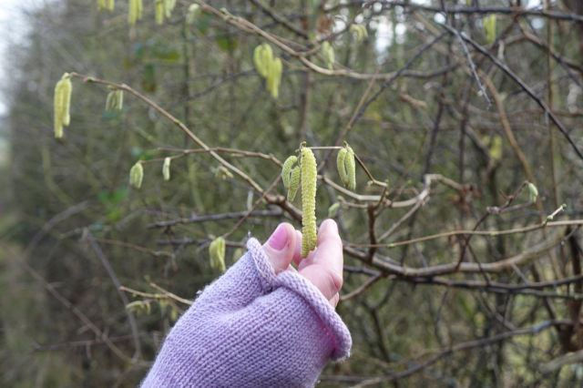 The hazel catkins.