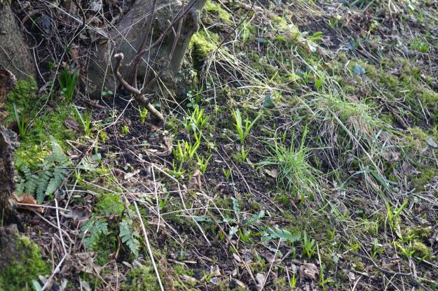 The place will be covered in bluebells in the spring. Here are their bright green shoots.