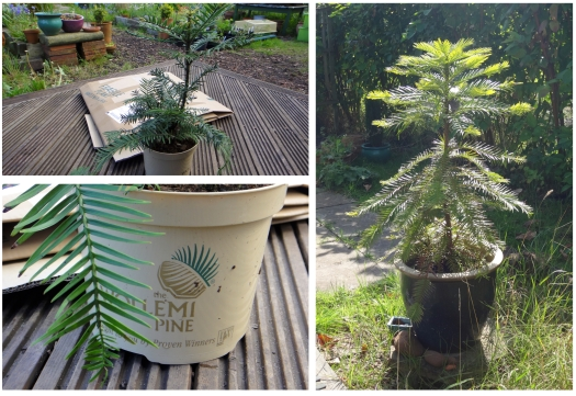 'Rachel's Wollemi pine, arriving in May 2012, and doing well in September 2014.