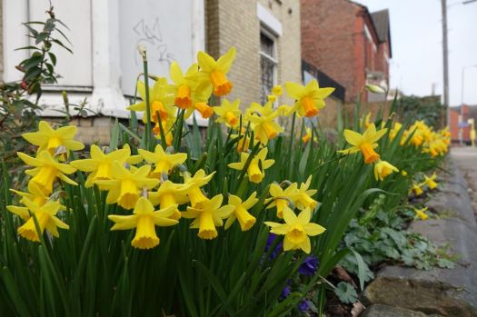 Between the streets, on Kingsley Road, the community gardens are in full spring flower.