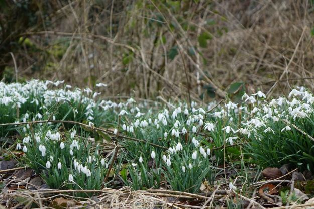 Still full of snowdrops as it's still late winter in this part of England.
