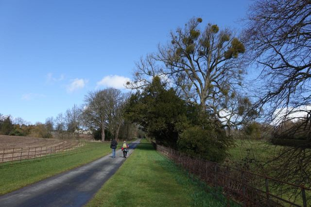 The otherwise bare winter oak trees are heavy with parasite mistletoe.