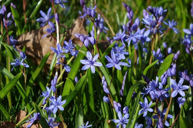 So we look at the Squill outside the garden.