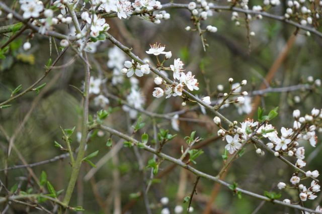 And the blackthorn?