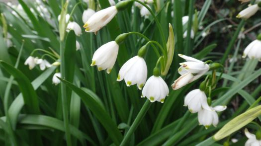 Leocojeum, the 'big snowdrops'