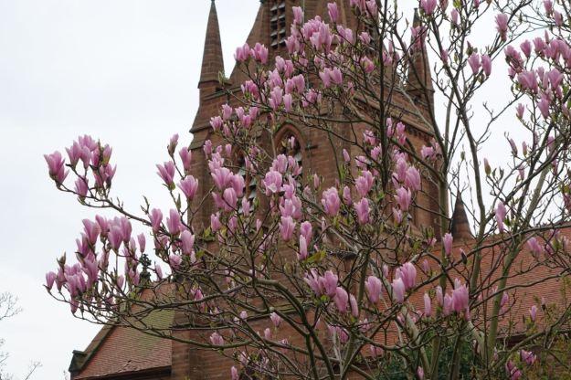 Magnolia at St Bartholomew's, Thurstaston.